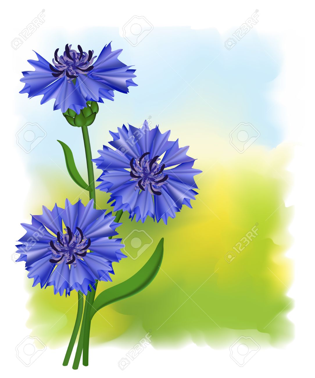 Flowers blue cornflower (Centaurea cyanus). Vector illustration. Stock Vector - 9717955