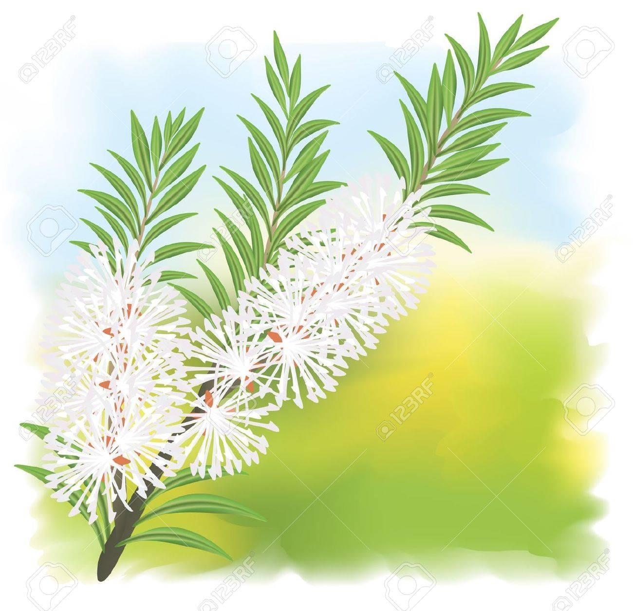 Melaleuca - tea tree. Stock Vector - 10424081