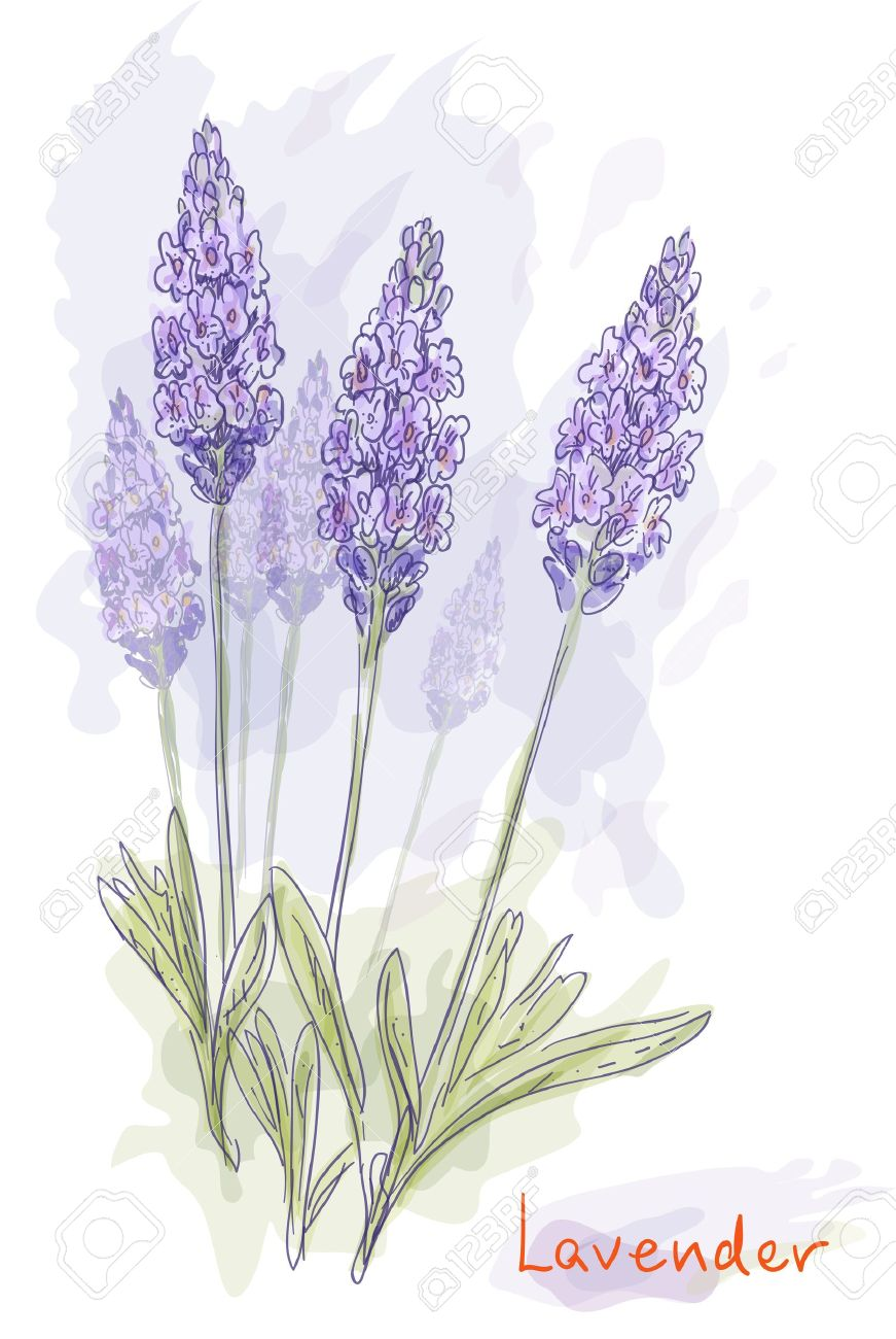 Lavender flowers (Lavandula). Watercolor style. Vector illustration Stock Vector - 11599455