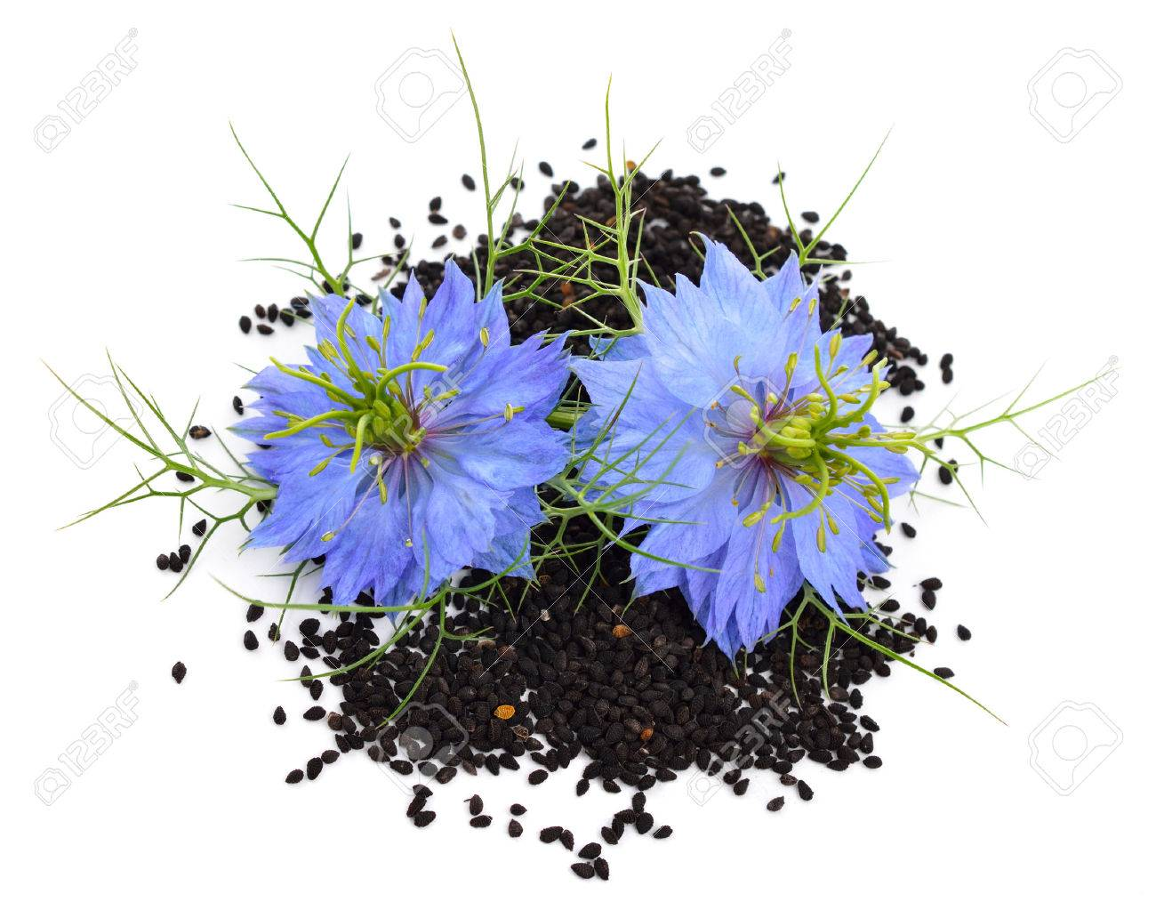 Nigella sativa or fennel flower, nutmeg flower, black caraway, Roman coriander, black cumin, black sesame, blackseed, black caraway, Bunium persicum. Isolated. - 30146995