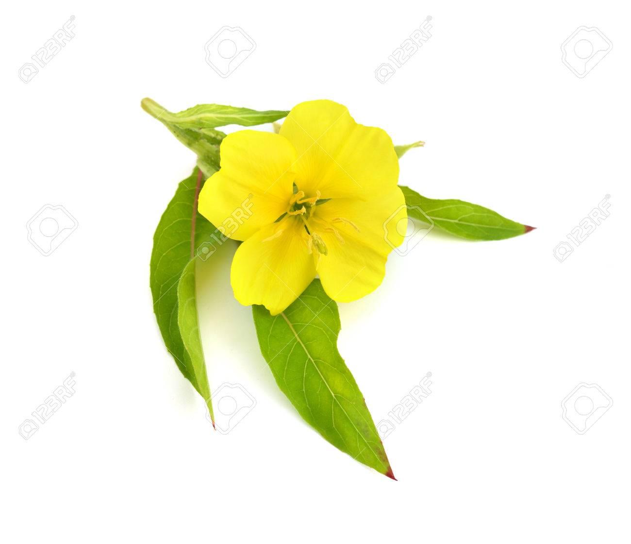 Oenothera flower isolated. - 44810429