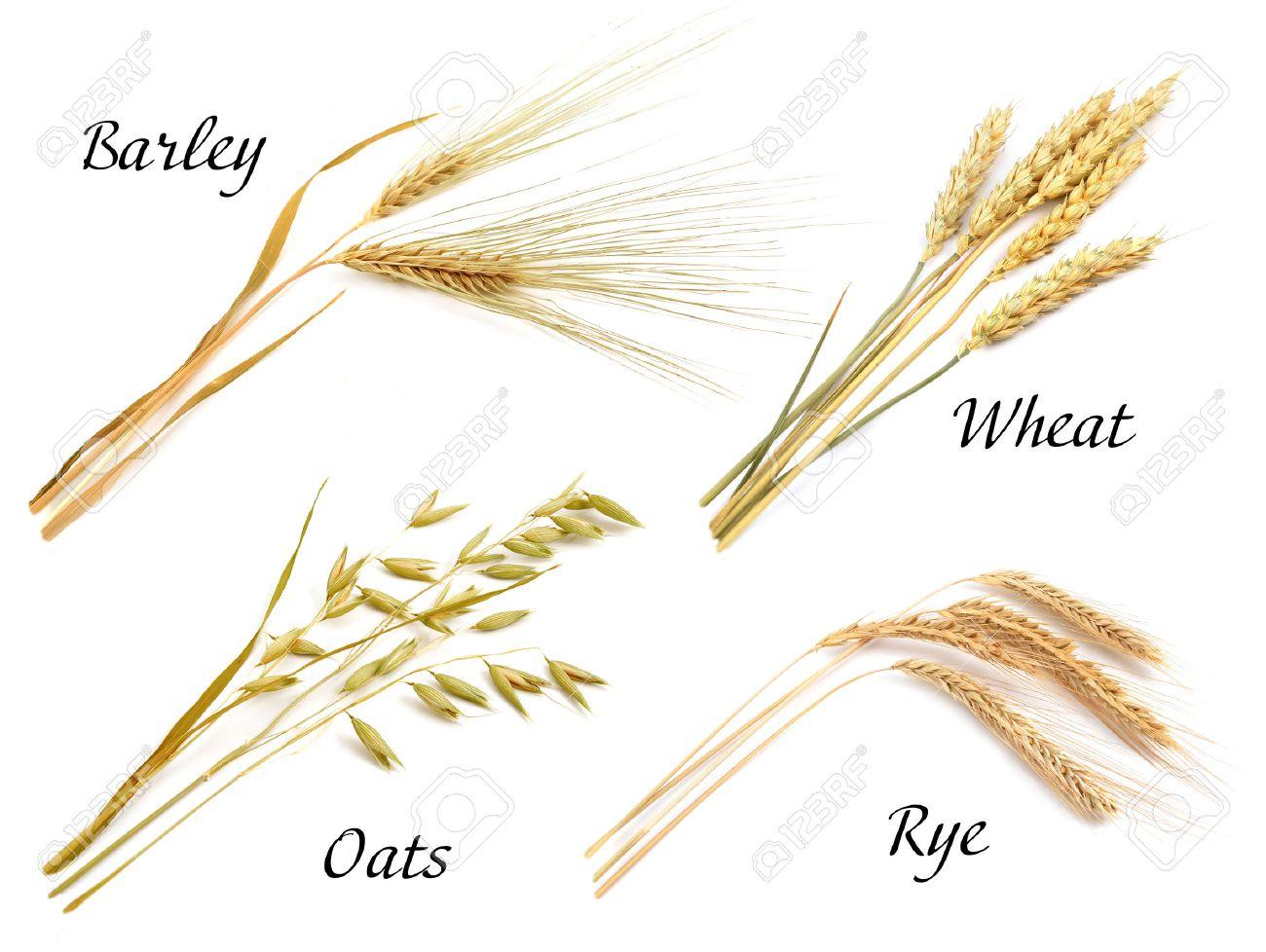 Image result for rye