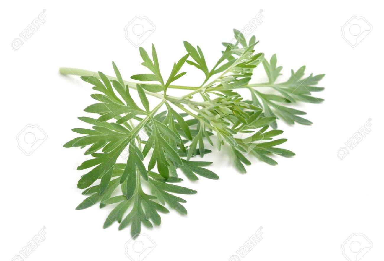 Artemisia absinthium isolated on white background. - 44810465