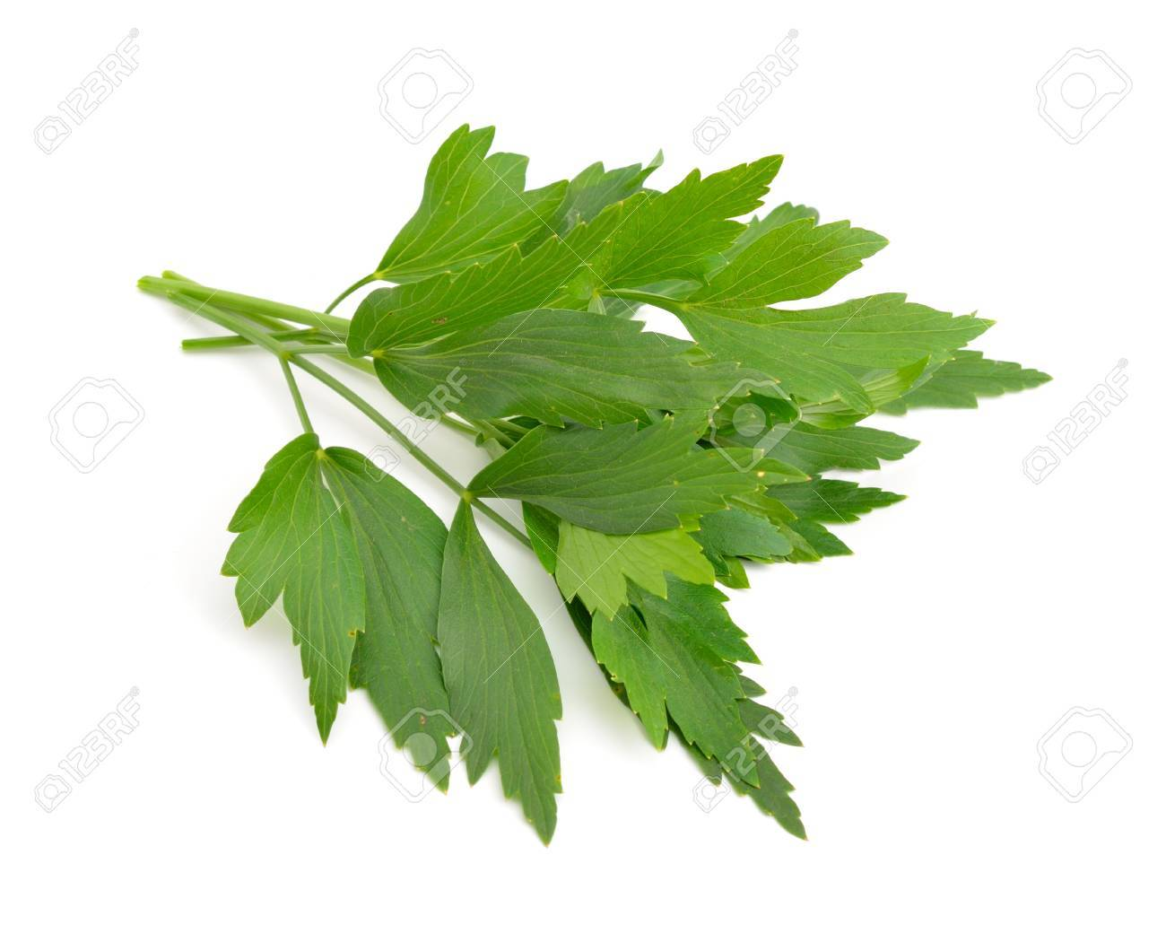 Lovage, Levisticum officinale. Isolated on white backgrounbd. - 71832145