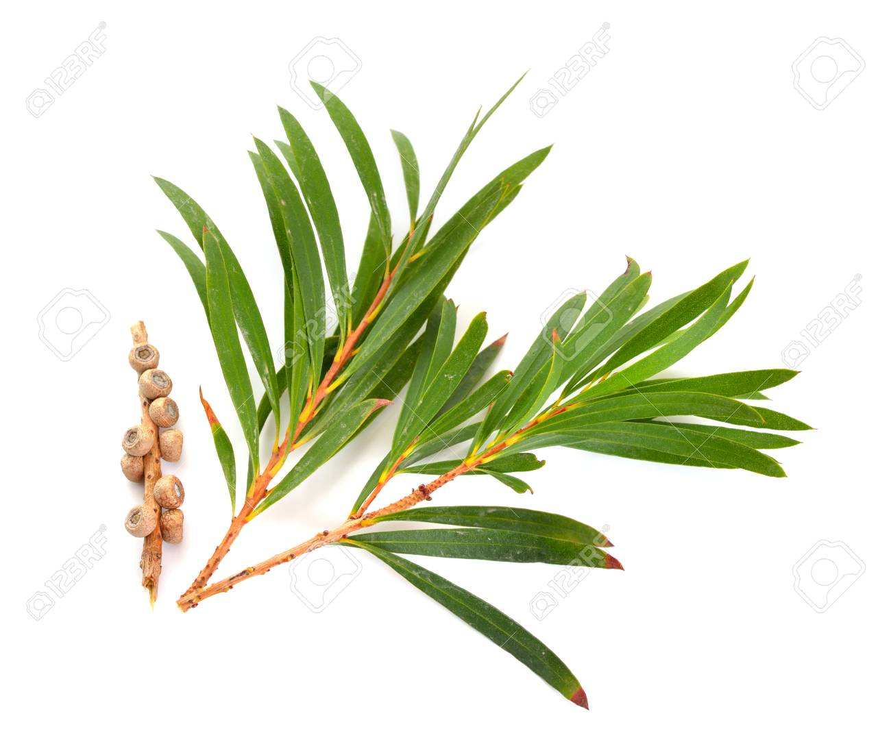Melaleluca (tea tree) twigs with leaves and seeds. Isolated on white background. - 91031709