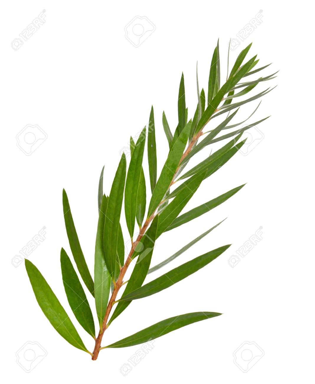 Melaleuca tea tree twig. Isolated on white background. - 104717888