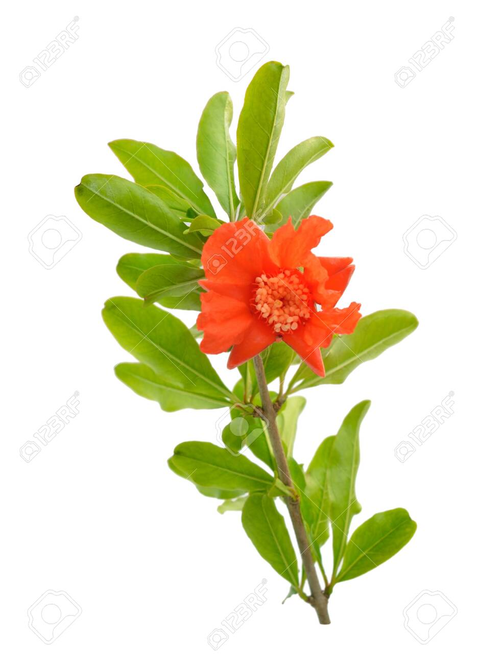 Flowers of Pumeca granatum or pomegranate isolated on white background. - 123208315