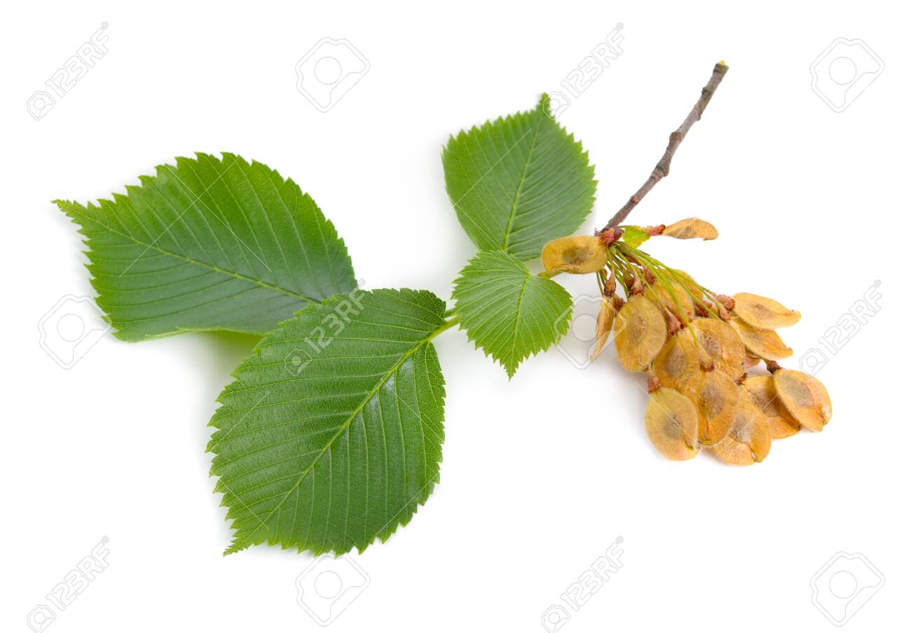 leaves and seeds of Elms Isolated on white background. - 123208514