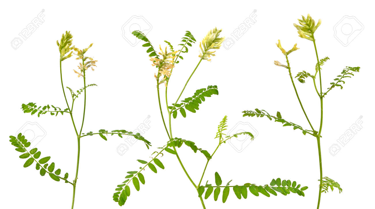 Astragalus glycyphyllos or liquorice milkvetch, wild liquorice, wild licorice. Isolated. - 151231423