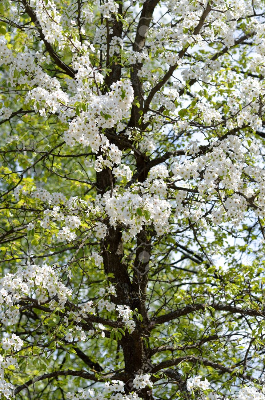 Blossoming pear tree with white flowers and black trunk vertical blossoming pear tree with white flowers and black trunk vertical format stock photo 40105489 mightylinksfo