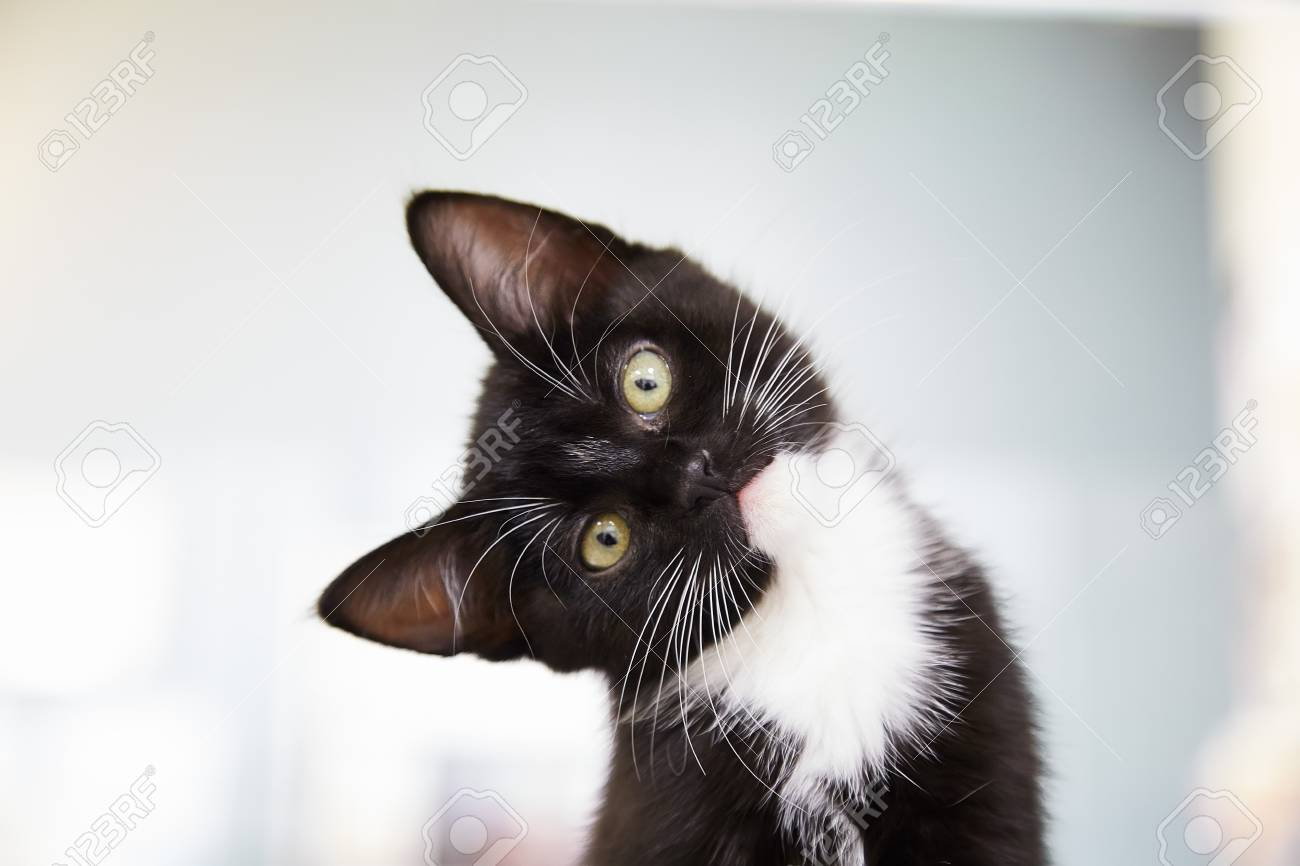 Image result for kitten tuxedo