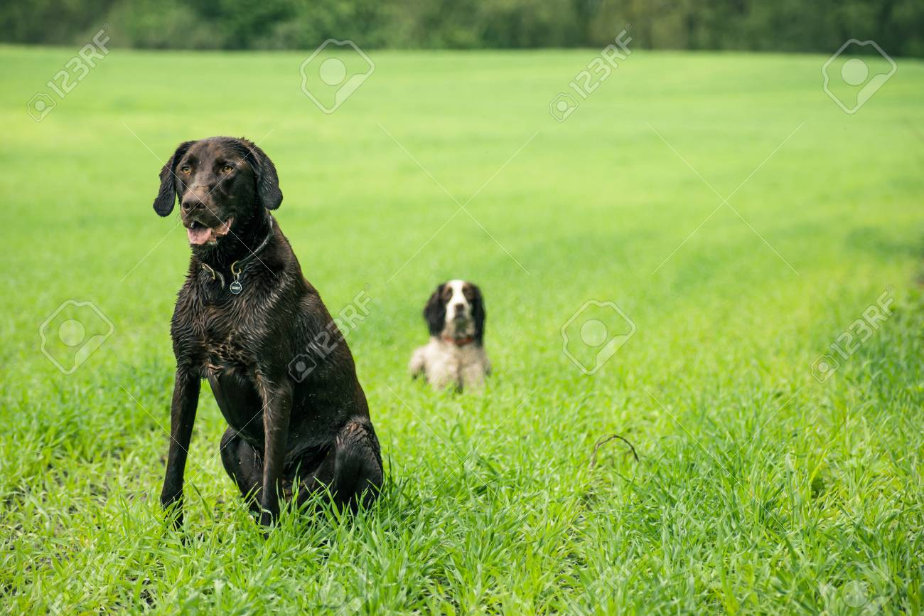Two hunting dogs on a green field Stock Photo - 23257801