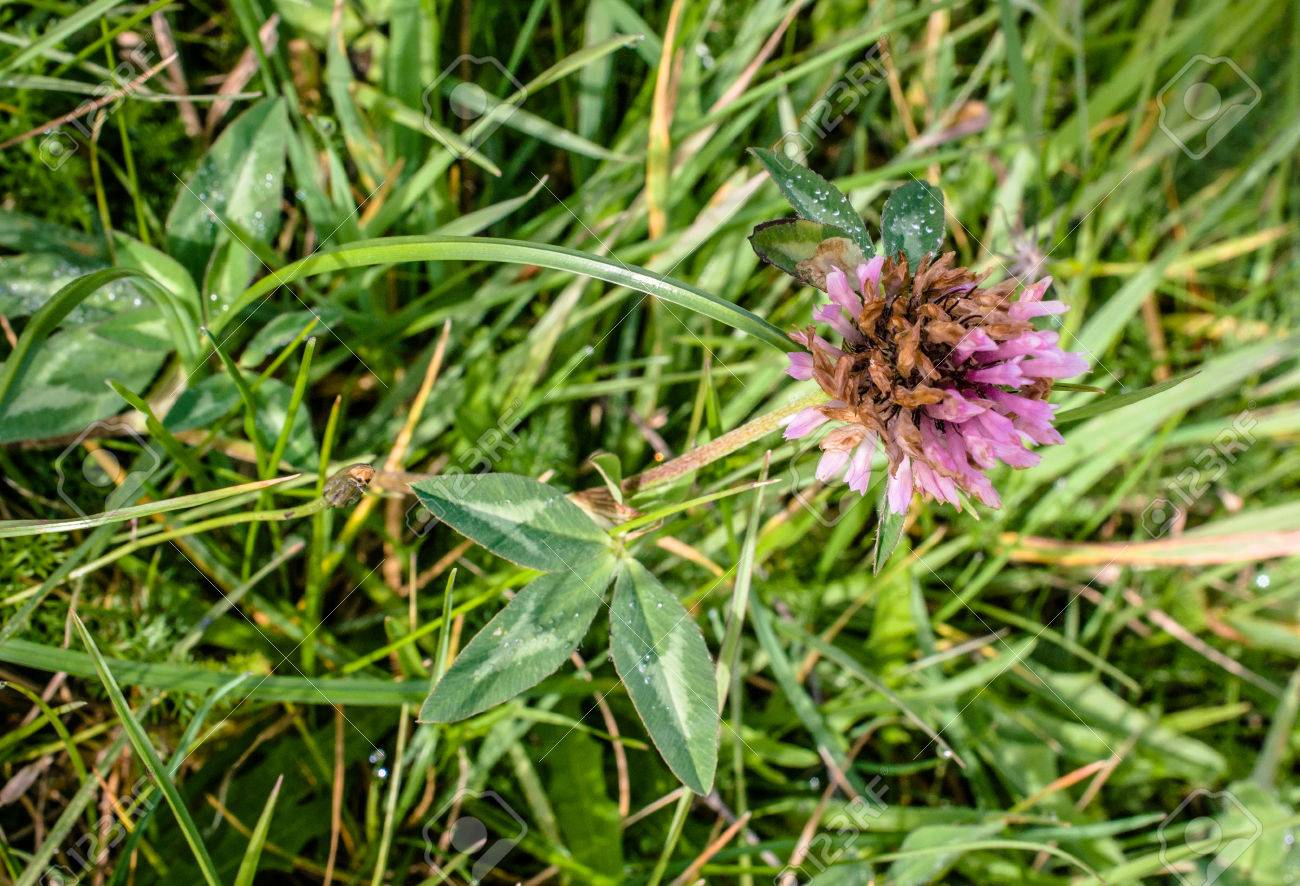 Purple Clover Flower On A Green Field Foto Royalty Free Gravuras