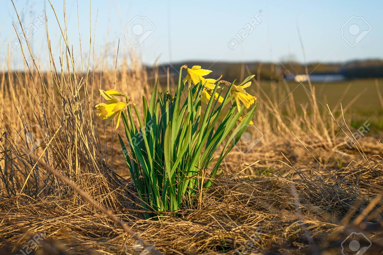 Daffodils on a dry meadow in the early spring with a farm in the background - 143854797