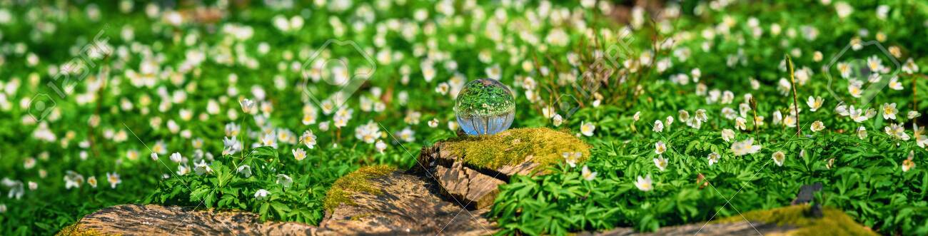 White anemone flowers around a crystal orb in a forest at springtime - 145302149