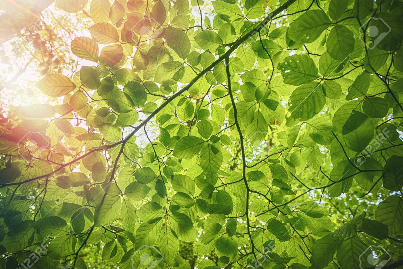 Fresh green beech leaves in the springtime with water droplets - 146575206