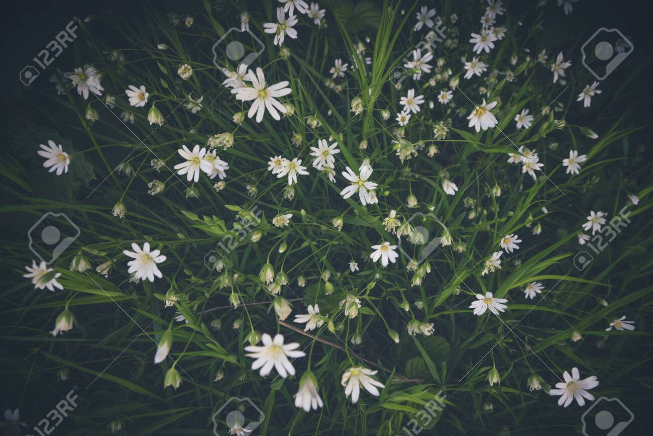 White anemone flowers seen from above with green leaves in the spring - 146574669