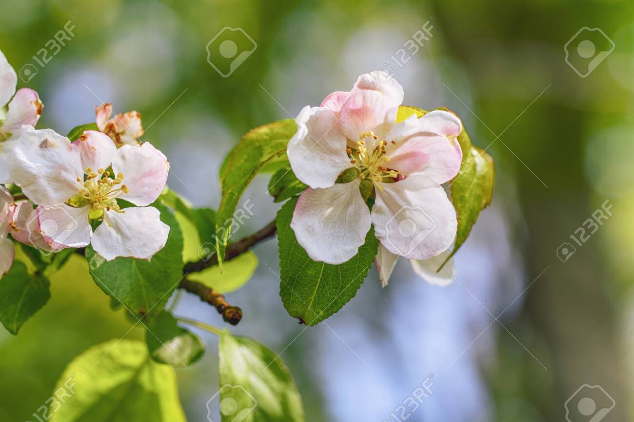 White apple tree flowers on a branch in the spring with green - 146668810