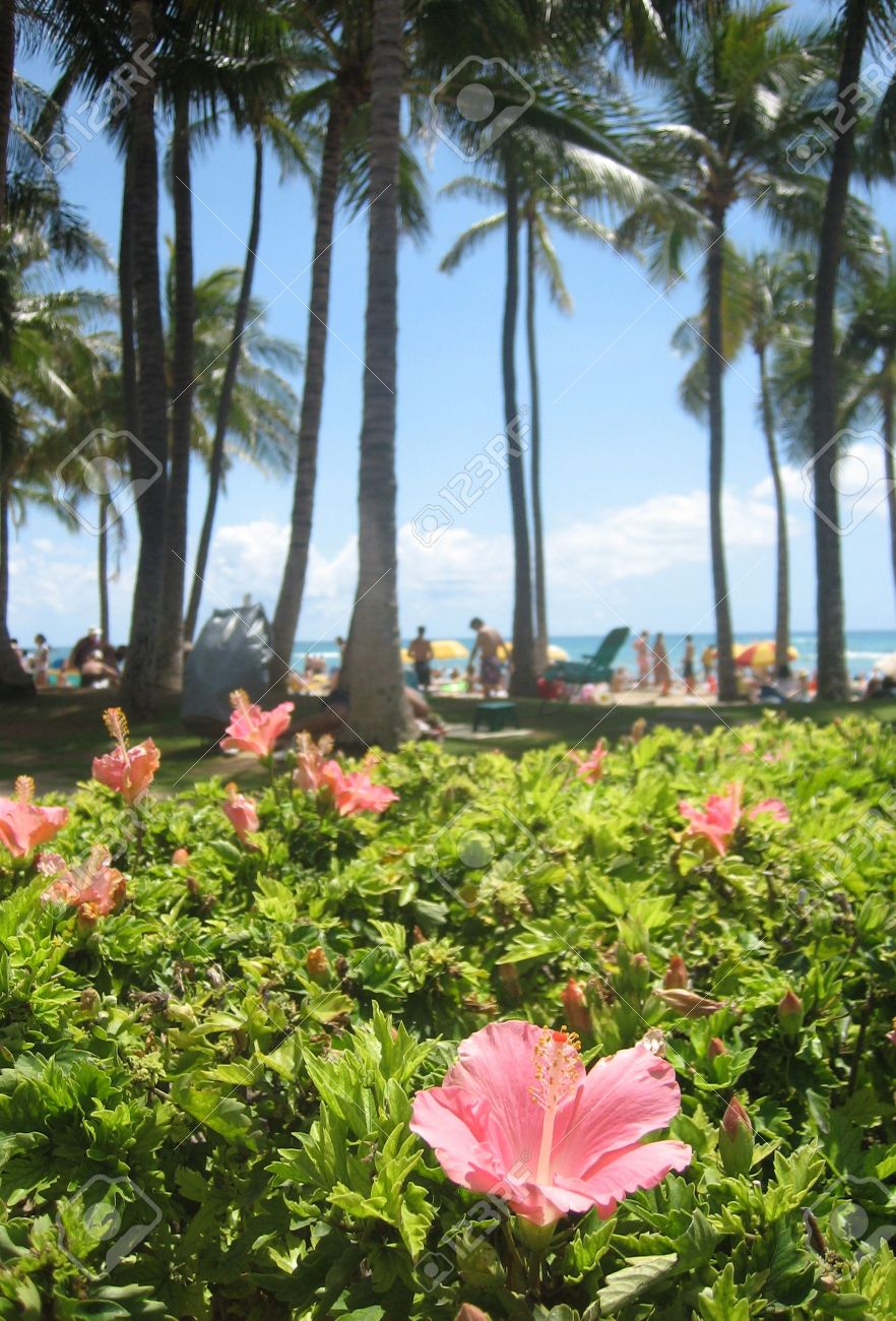 Palm trees and hibiscus flowers line waikiki beach honolulu palm trees and hibiscus flowers line waikiki beach honolulu hawaii stock photo izmirmasajfo