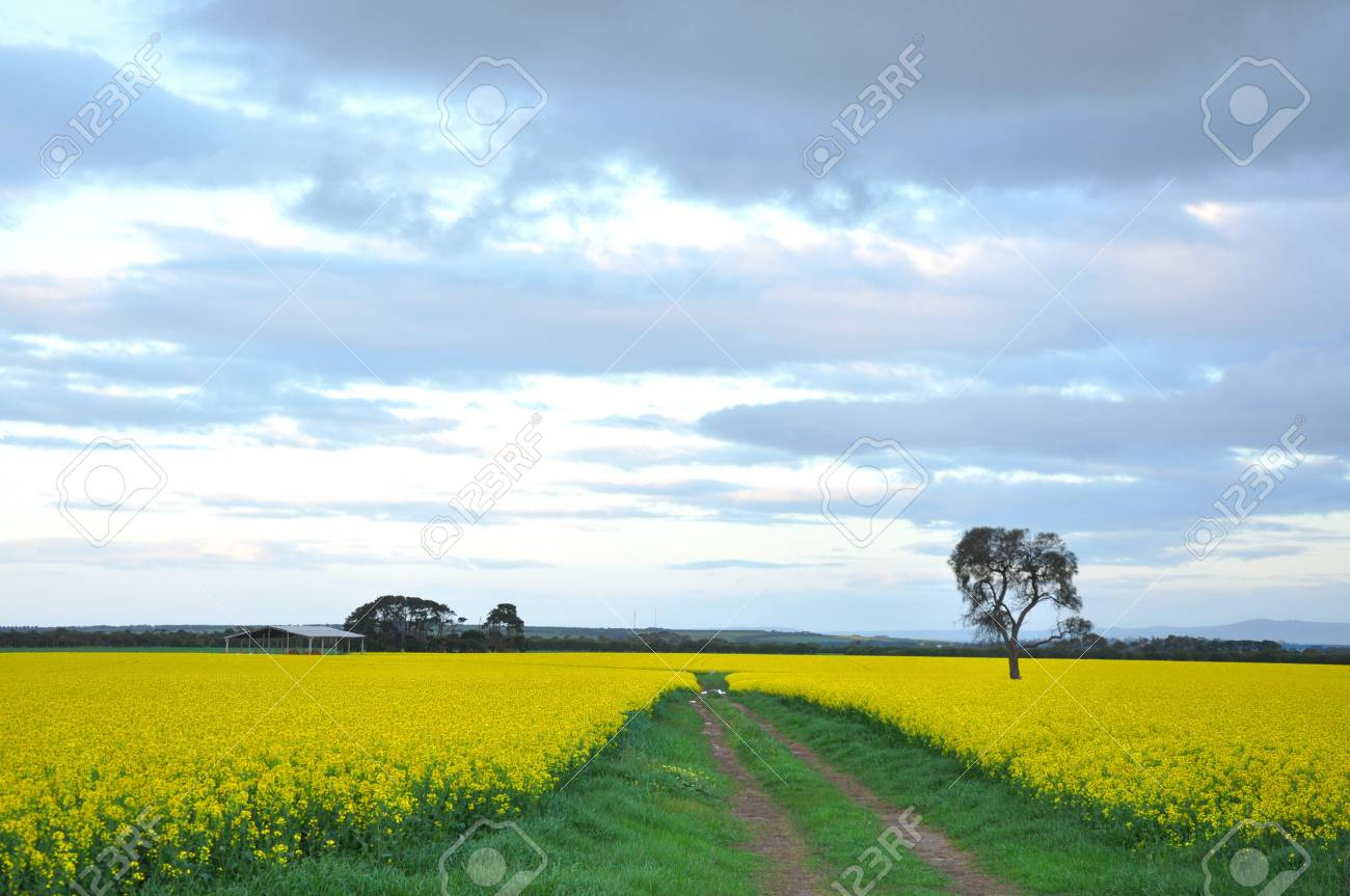 A lone tree stands in a meadow of yellow flowers. Stock Photo - 7486923