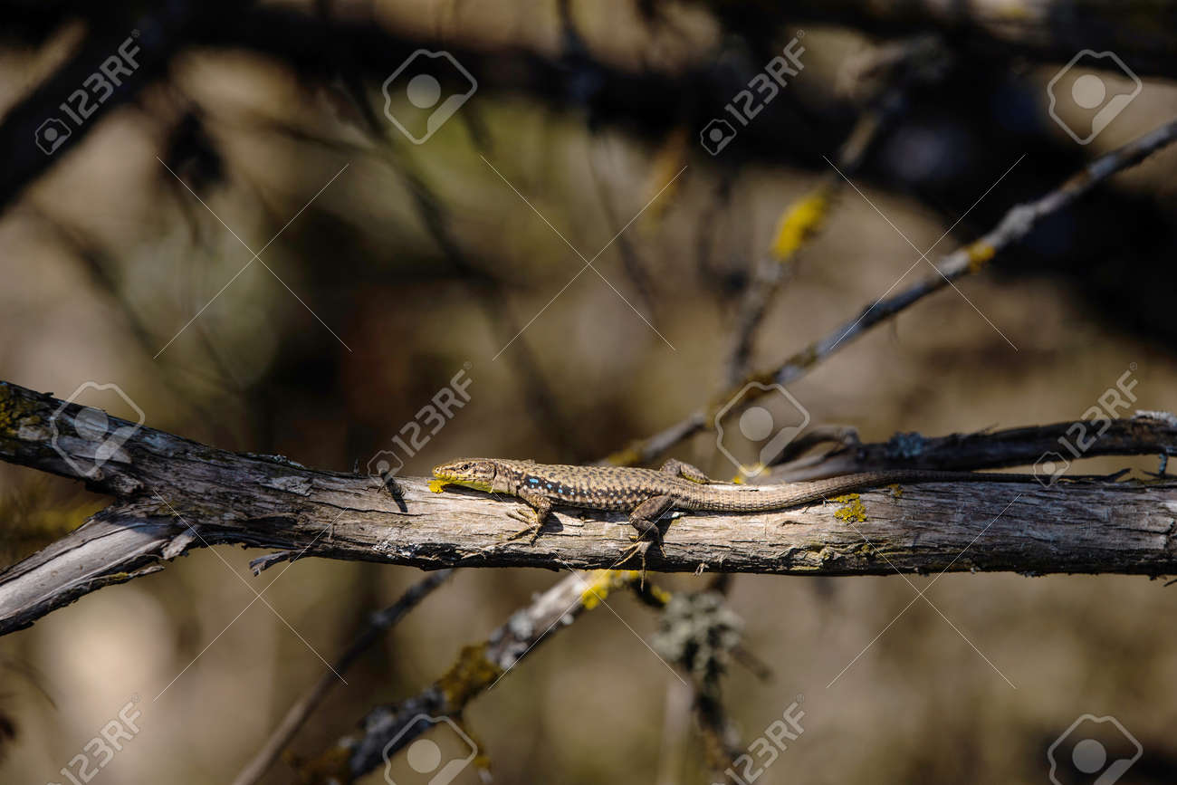 small zootoca vivipara on tree branch in wild - 170066890