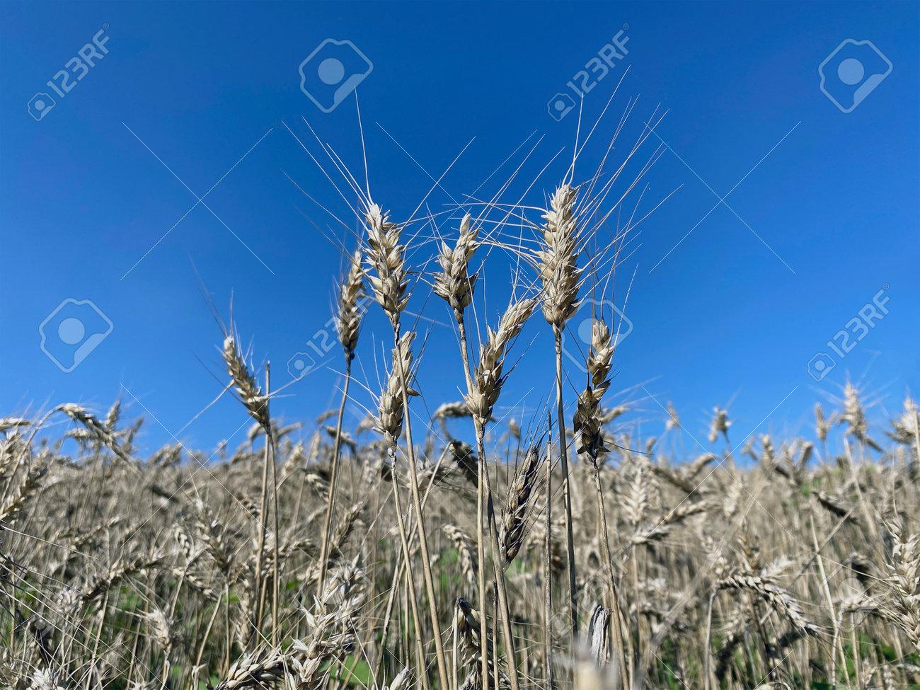 ears of ripe wheat in background blue sky - 173620573
