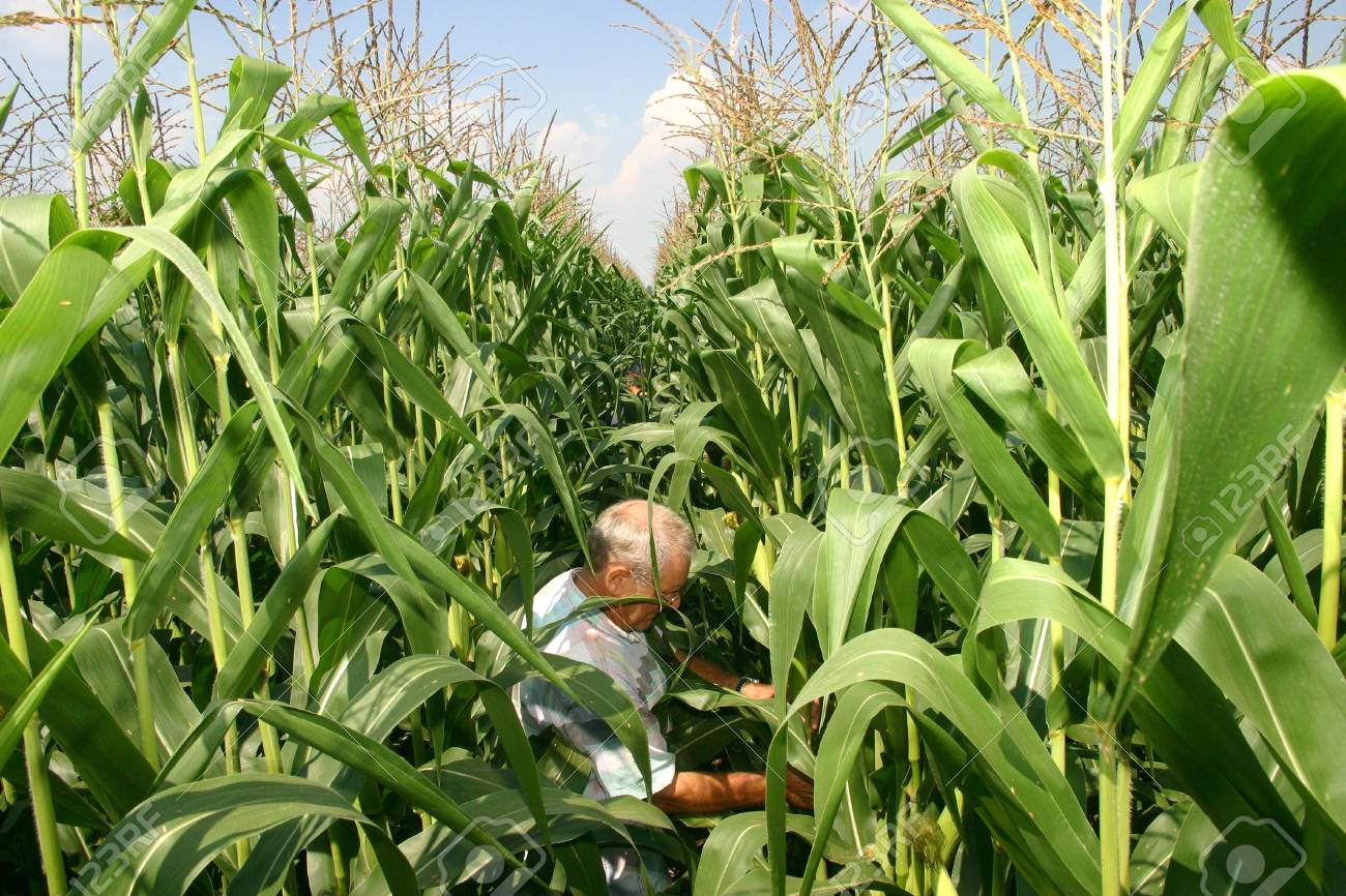 Parkhill, Canada - August 1, 2006. A Canadian farmer inspects the quality of of his corn crop on a family farm in Southwestern Ontario.  Stock Photo - 10780970