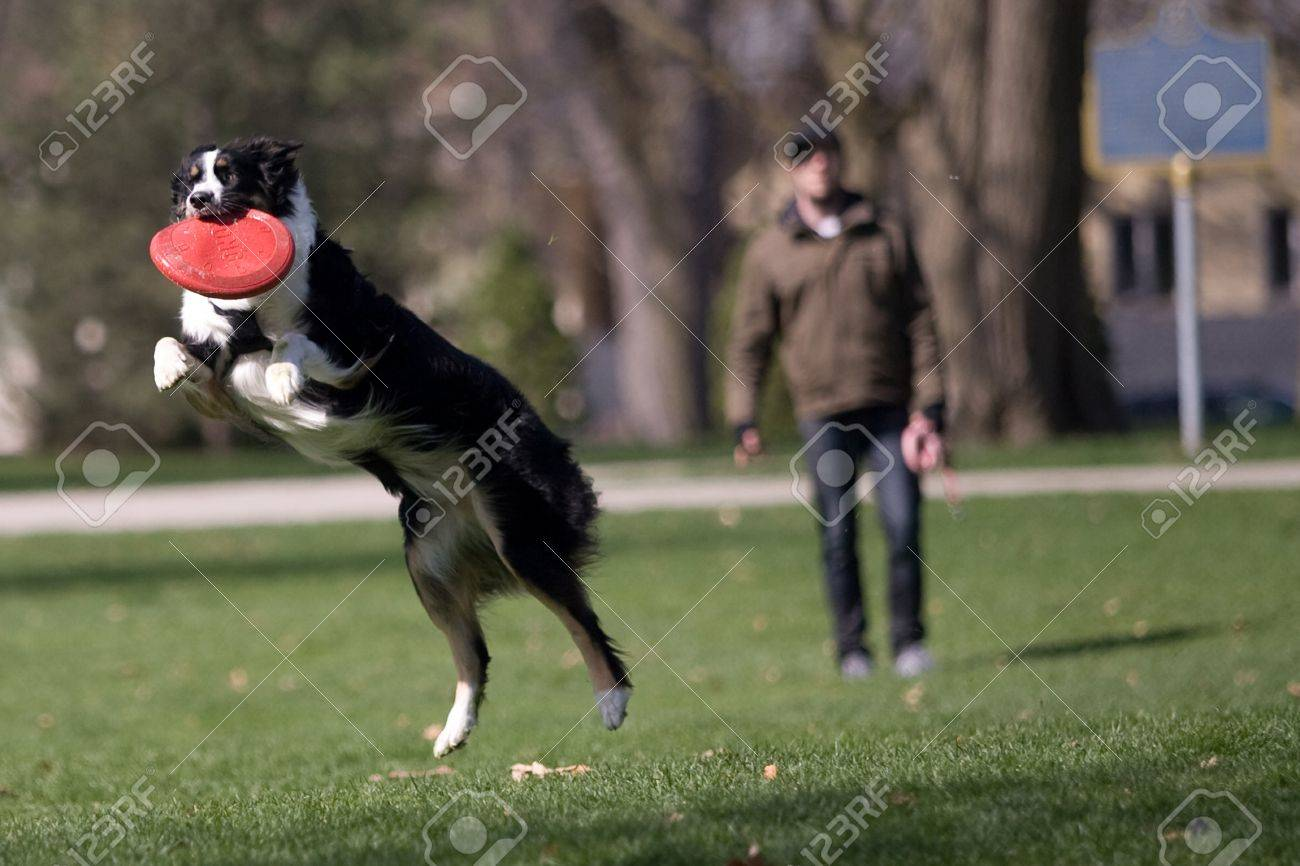 Frankie, a two year old Austrailian Sheppard catches a frisbee thrown by her owner Aaron Cowell, 30, of London who is in the background.  The two were out enjoying the sunshine in Victoria Park on Monday afternoon. Mark Spowart/for Metro.  Stock Photo - 13111831