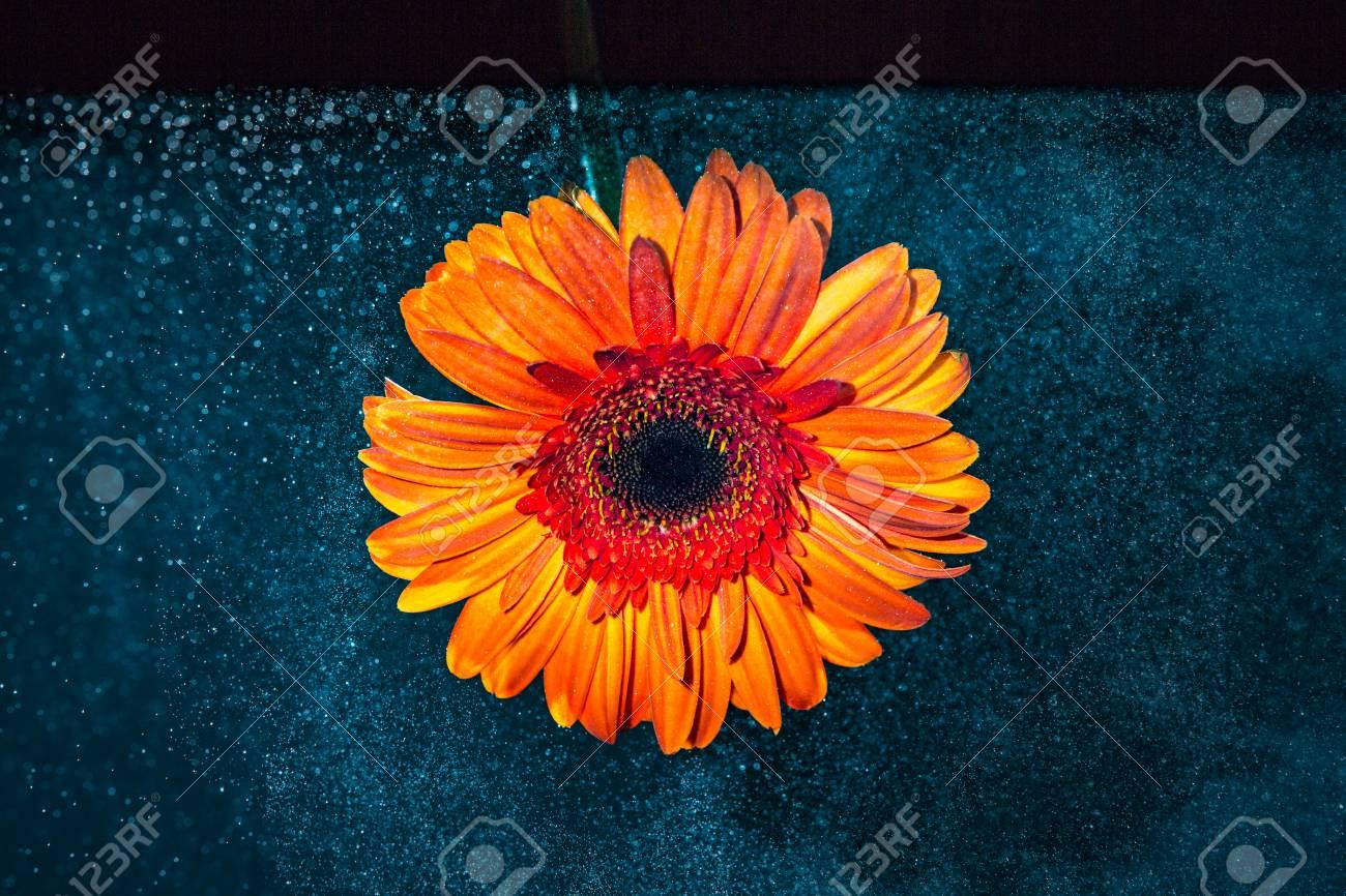 Fleur De Gerbera En Orange Sur Fond Noir Sombre Fond Bleu Avec Des