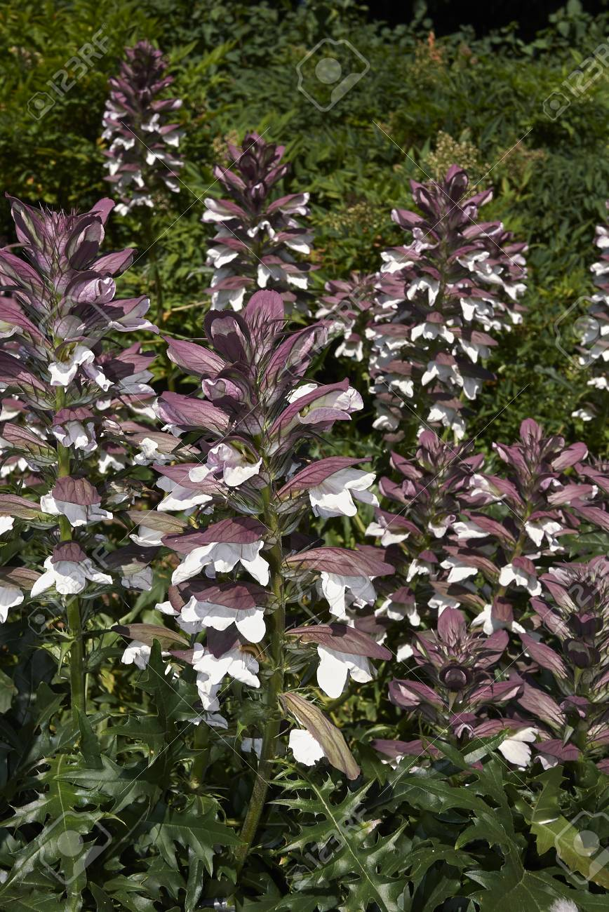 Acanthus Mollis Flowers Stock Photo Picture And Royalty Free Image