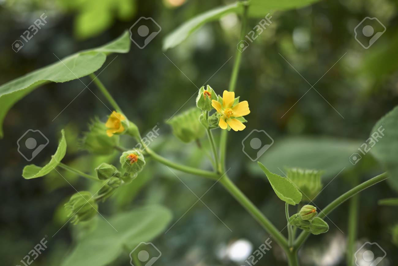 Abutilon Theophrasti Plant Stock Photo Picture And Royalty Free