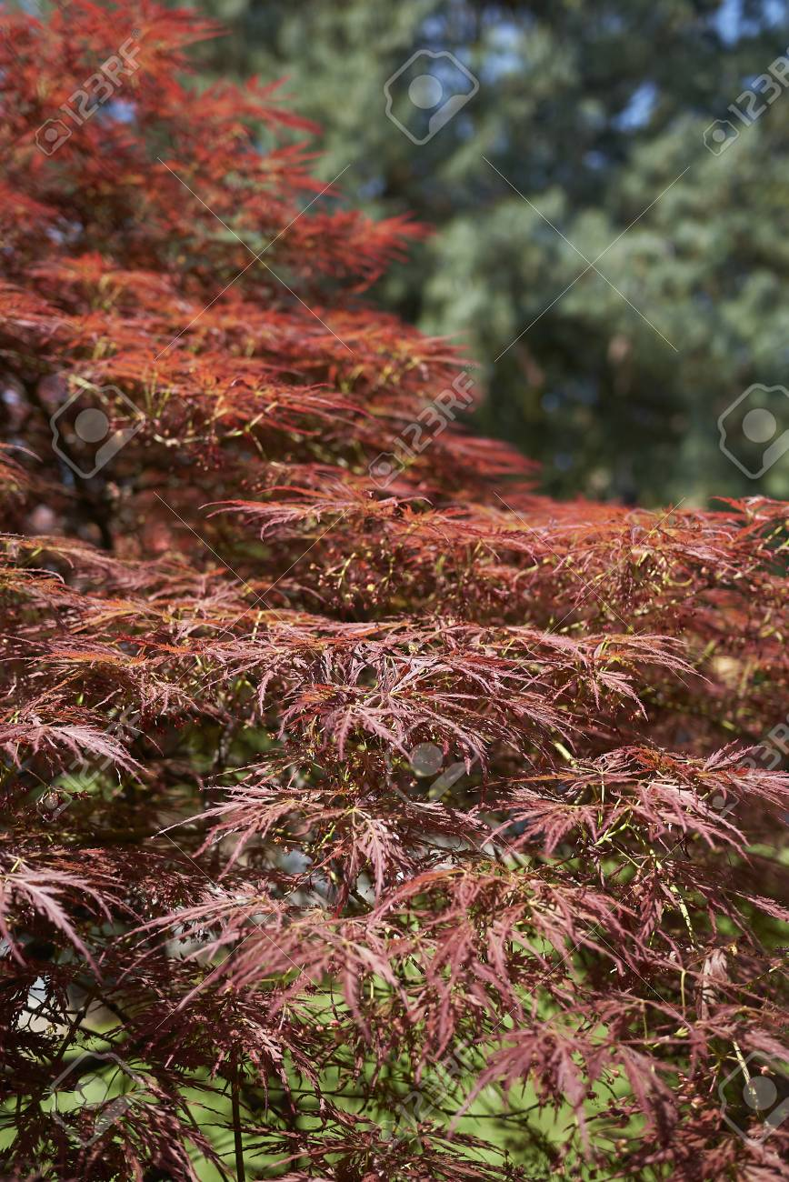 Red Foliage Of Purple Japanese Maple Stock Photo Picture And