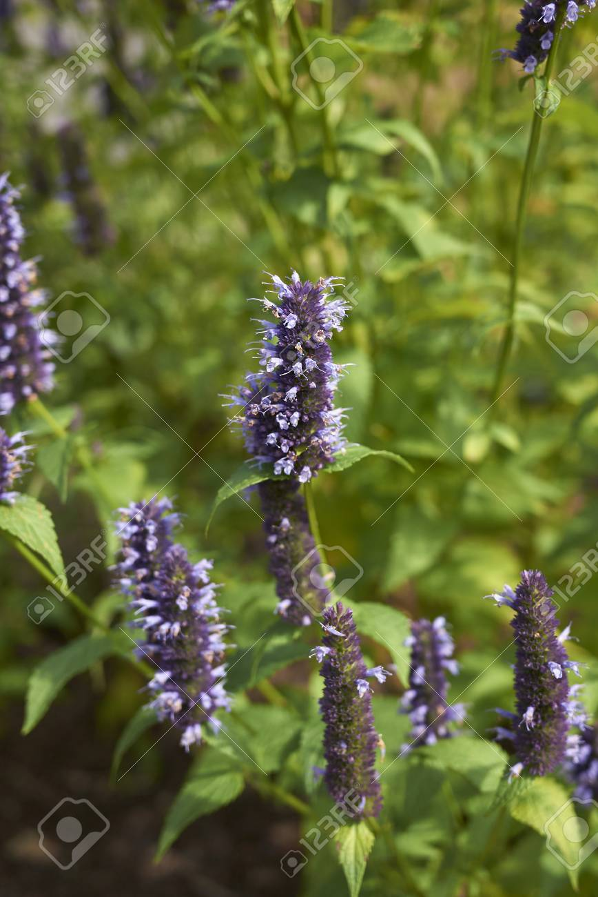 Agastache rugosa in bloom - 113600101