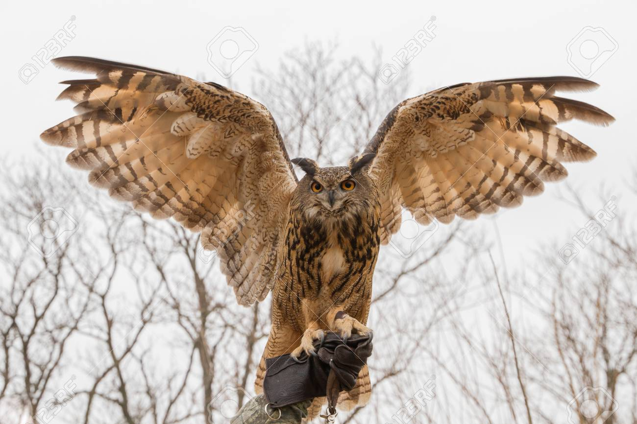 owl with wings spread  Captive Eurasian Eagle Owl Spreading Its Wings Perched On A ...