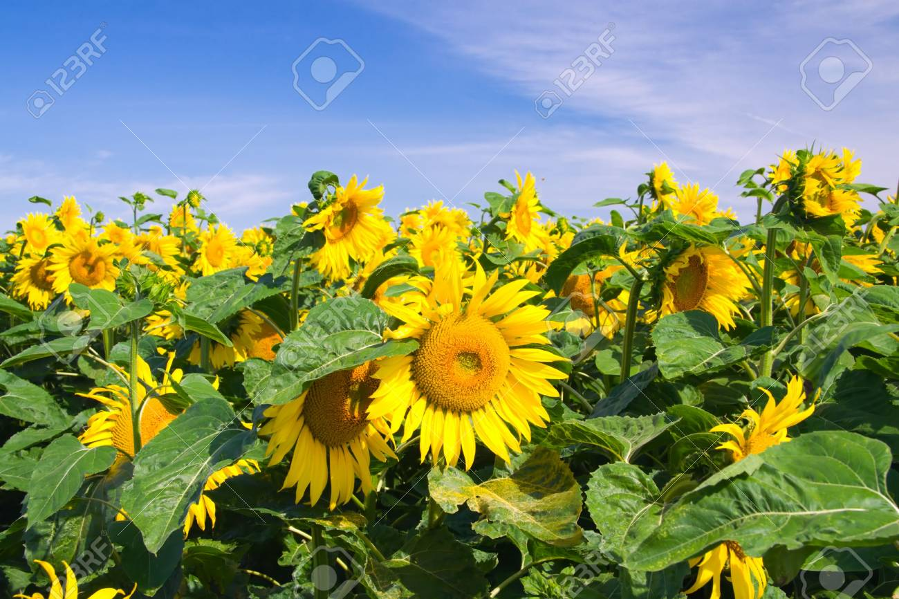 Sunflowers with blue sky and clouds Stock Photo - 3481052