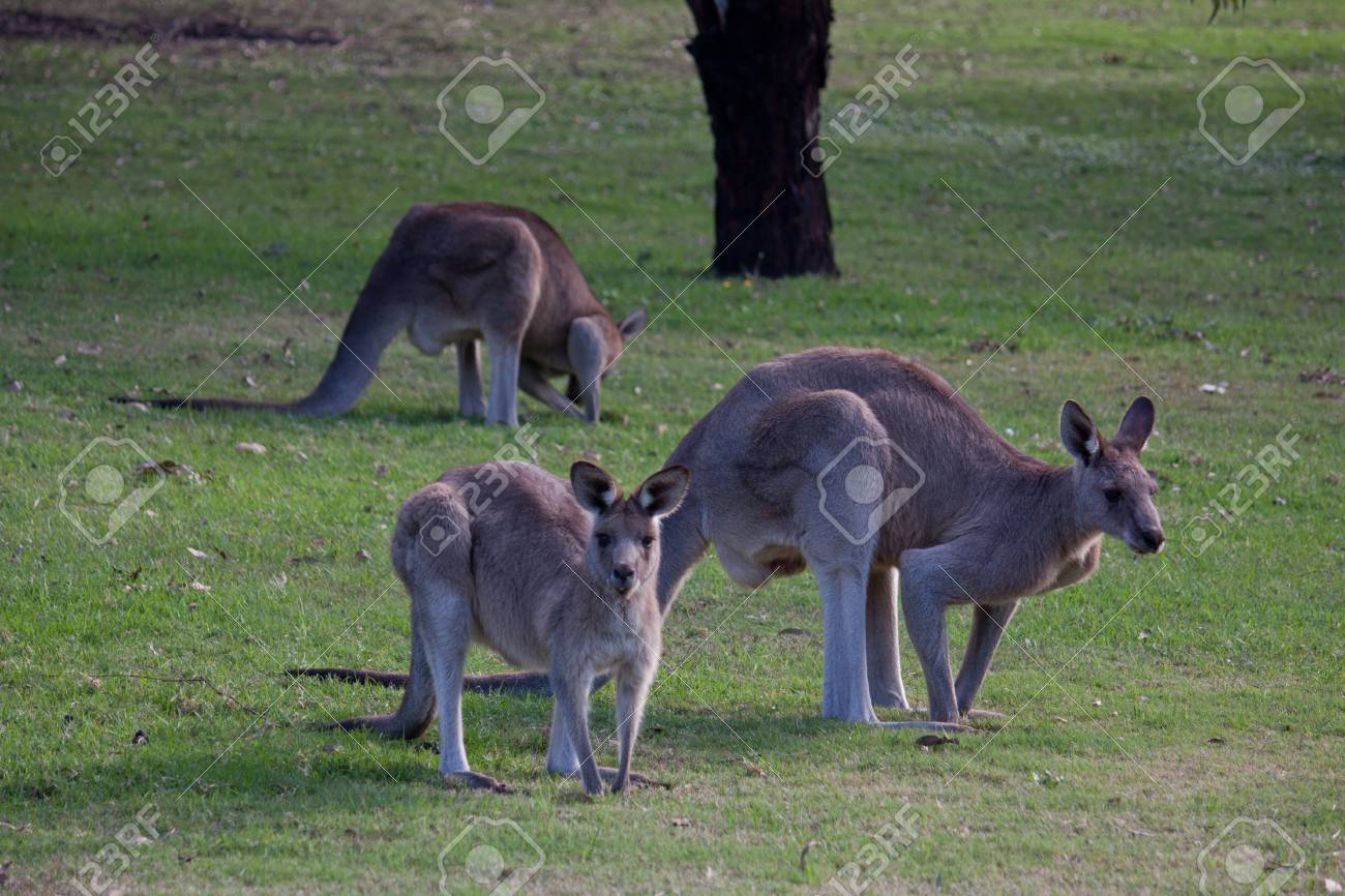 Trio of kangaroos in grass field Stock Photo - 13643241