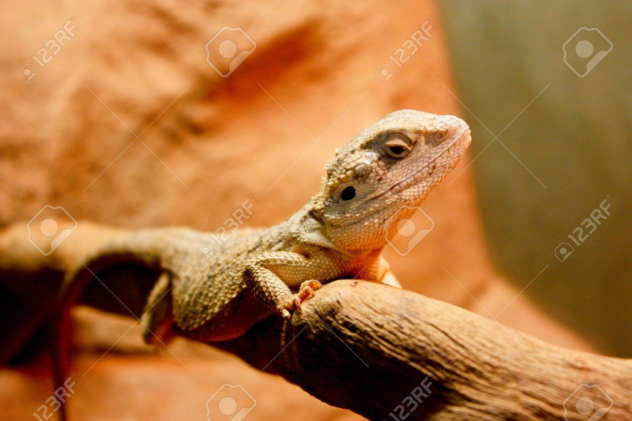 Lizard clinging to branch in Northern Territory, Australia Stock Photo - 13742925