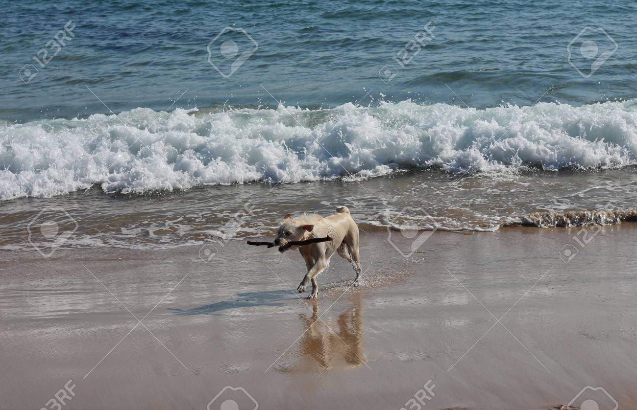Happy wet dog on surf beach with stick Stock Photo - 15707696