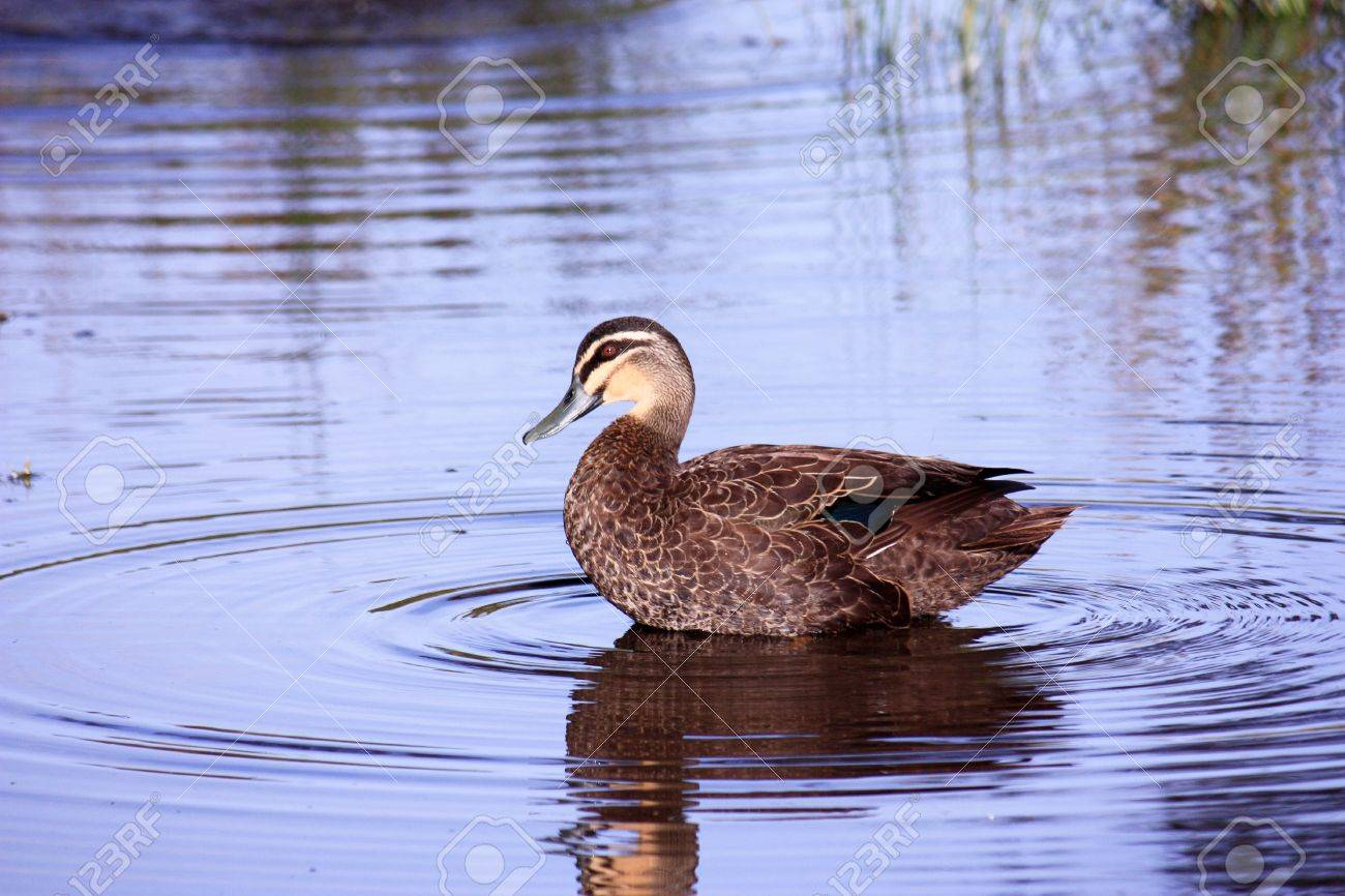 Wild brown duck on lake with water reflection Stock Photo - 16544907