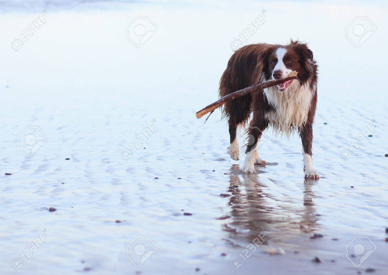 Border Collie Dog on surf beach with stick Stock Photo - 17435416