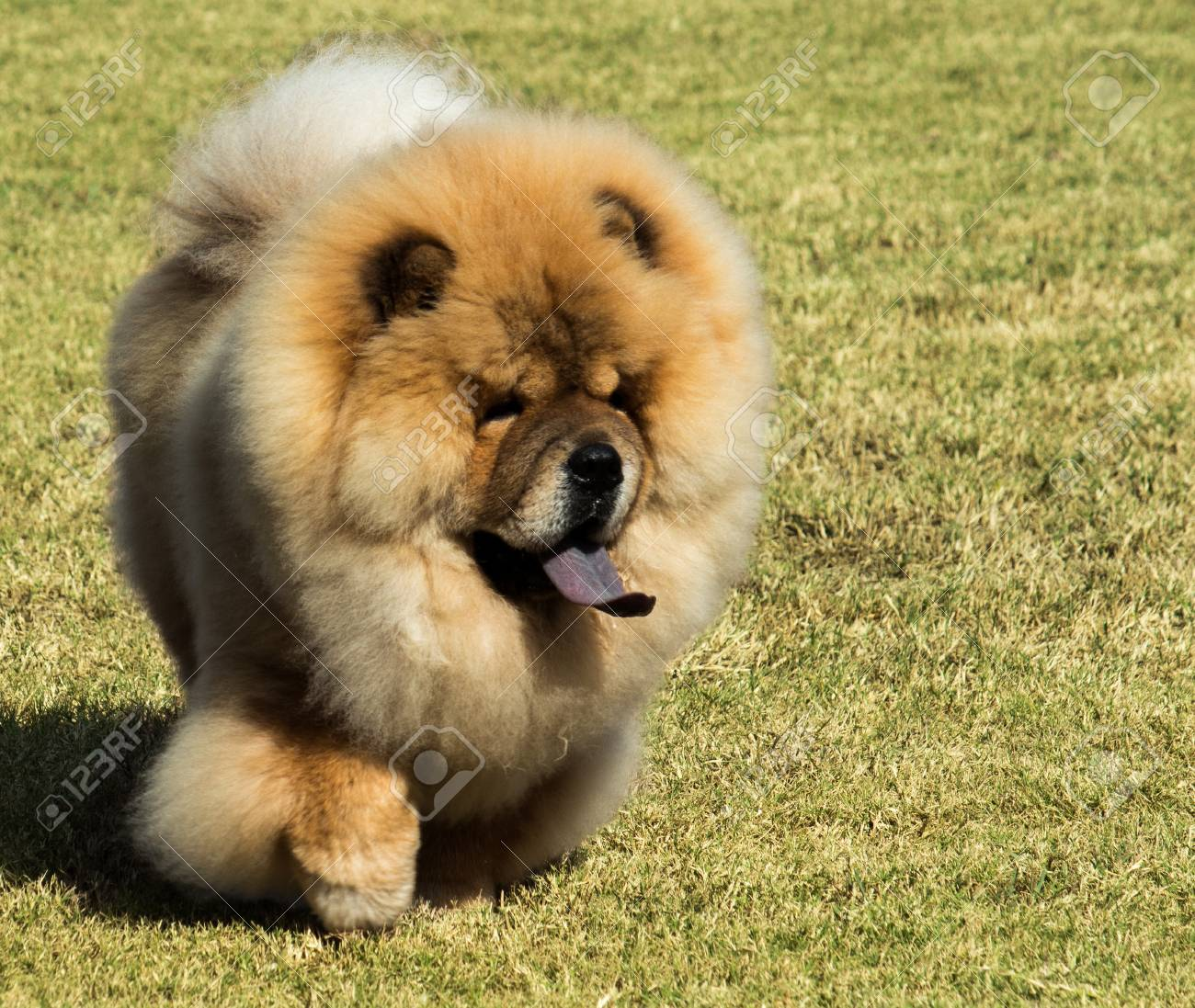 chow chow tongue