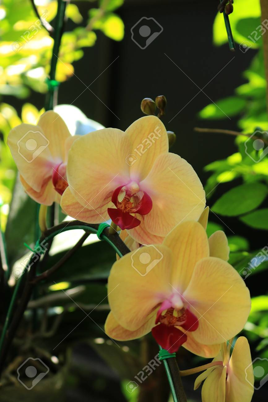 yellow phalaenopsis orchid stock photo picture and royalty free