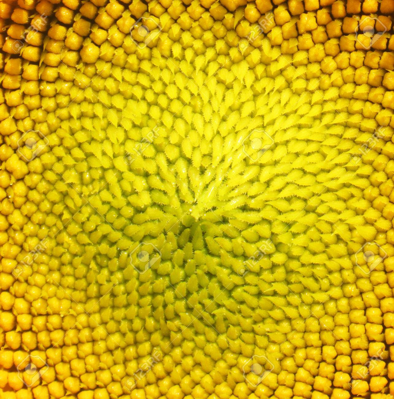 Thousands of tiny sunflowers head surrounded by huge flower
