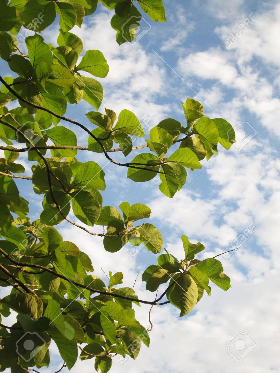 Teakbaum  Teak-Baum Unter Weißen Wolken Und Blauer Himmel Lizenzfreie Fotos ...