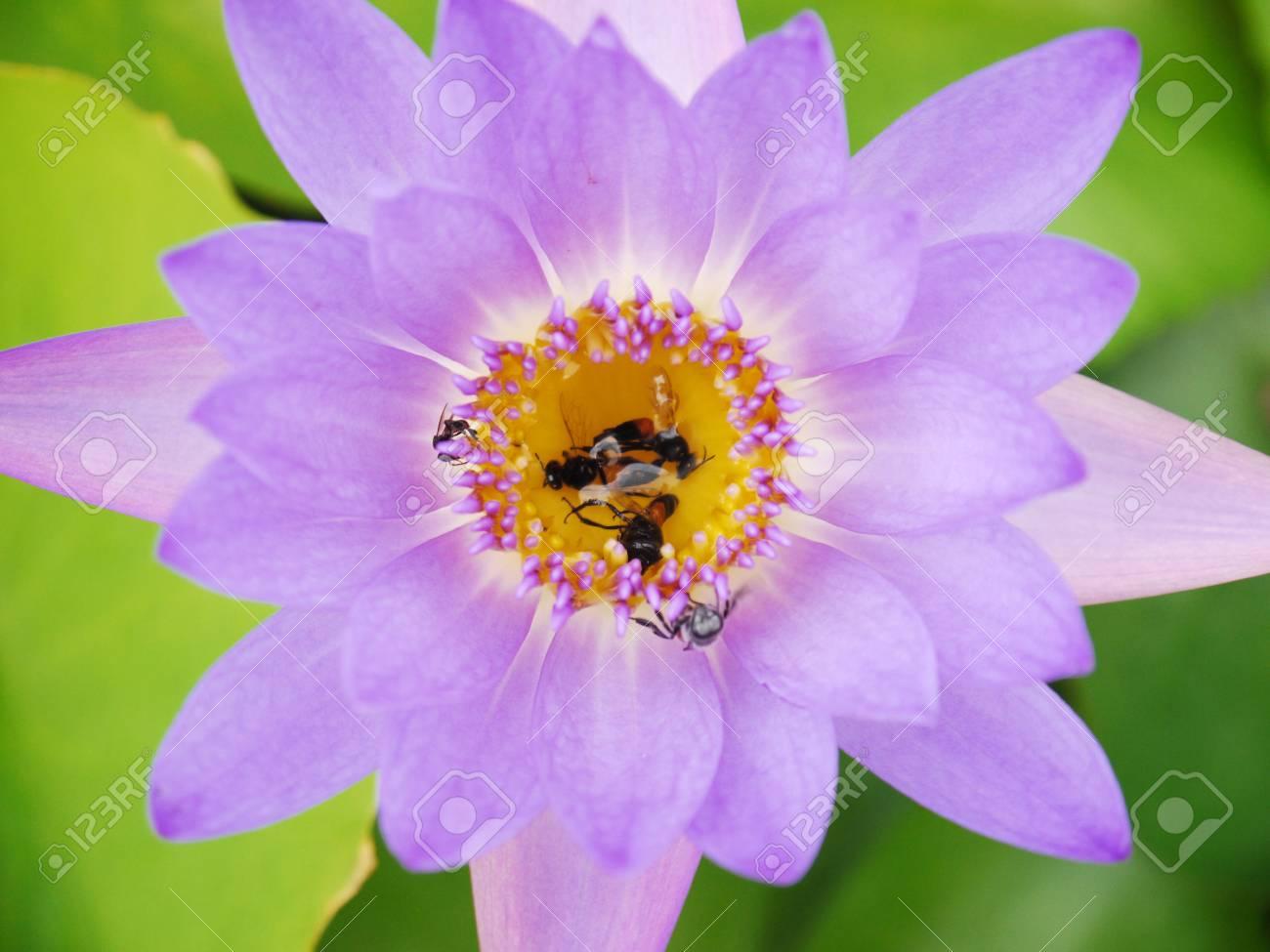 Closeup dead bees on purple lotus stock photo picture and royalty closeup dead bees on purple lotus stock photo 47753516 izmirmasajfo