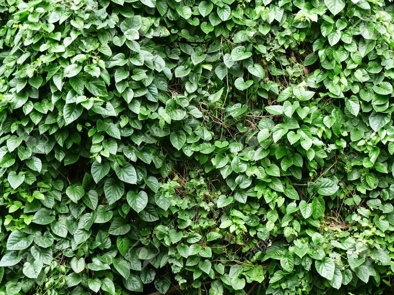 ivy bush plant in garden