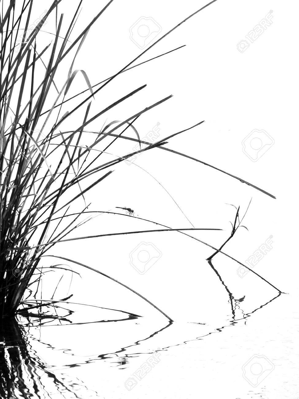 Tall Grass Silhouette To Stock Photo Tall Grass Silhouette Black And White Grass Black And White Photo Picture