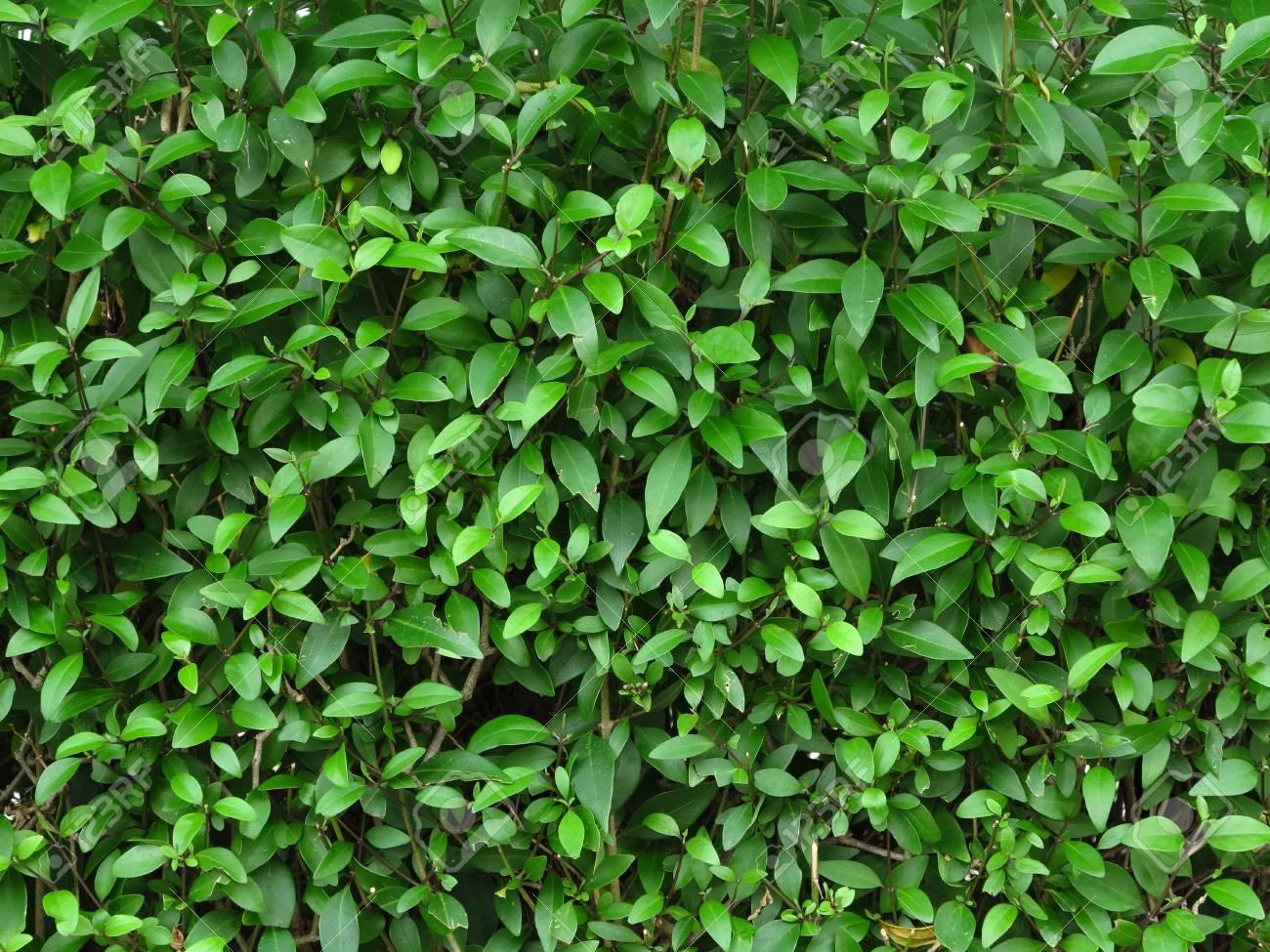 green leaf of bush wall in garden