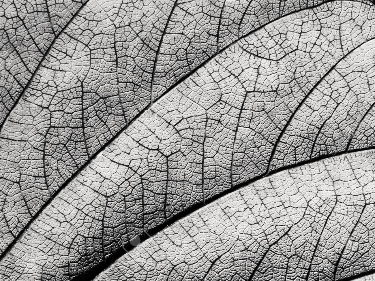 Black and white leaf texture closeup