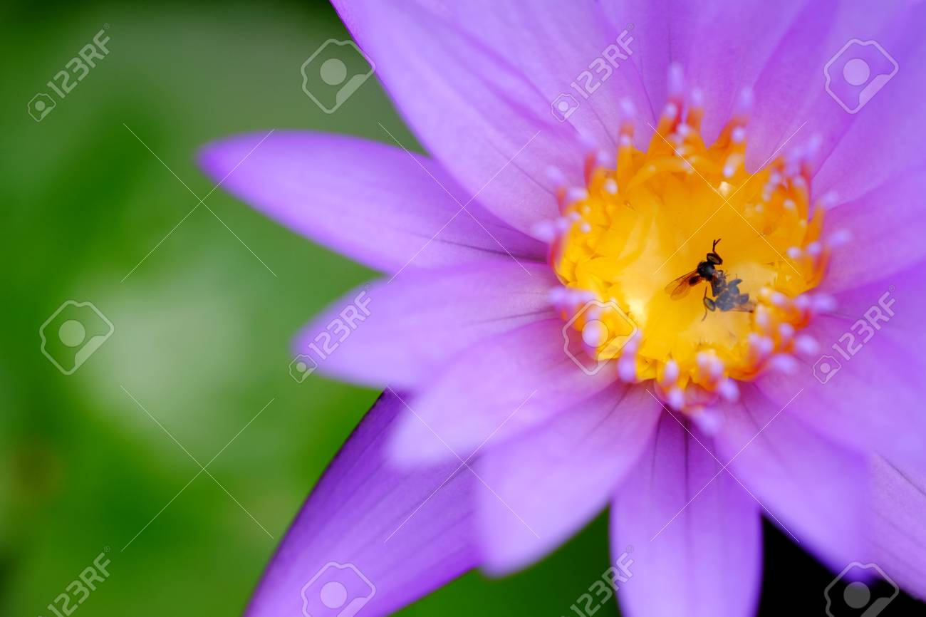 Stingless bee dead on pollen of purple lotus flower stock photo stingless bee dead on pollen of purple lotus flower stock photo 103174071 izmirmasajfo